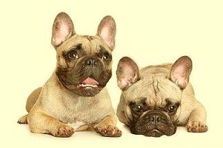 two-french-bulldog-puppy-YELLO